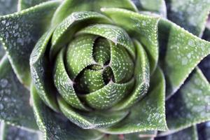 Aloe Plant (Aloe Aristata) by Dirk Wiersma