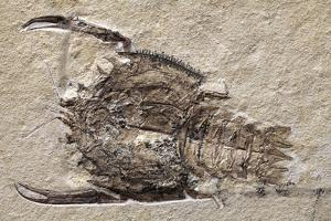 Crab Fossil by Dirk Wiersma