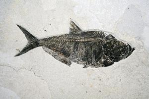 Diplomistus Fish Fossil by Dirk Wiersma