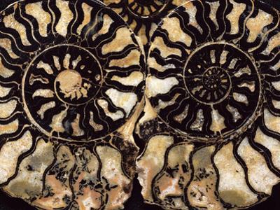 Fossil Ammonites by Dirk Wiersma