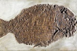 Fossil Fish, Dapedium Punctatus by Dirk Wiersma