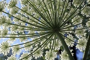 Giant Hogweed (Heracleum Mantegazzianum) by Dirk Wiersma