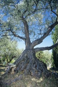 Olive Tree by Dirk Wiersma