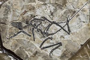 Raptor Fossil by Dirk Wiersma