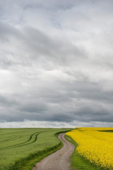 Dirt Road Passing Through Grain and Rapeseed Fields, Baden-Wurttemberg, Germany--Photographic Print