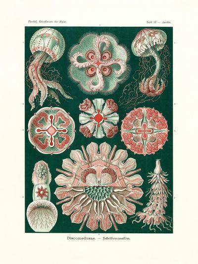 Discomedusae, 1899-1904--Giclee Print