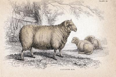 Dishley (New Leiceste) Ram, C1840--Giclee Print
