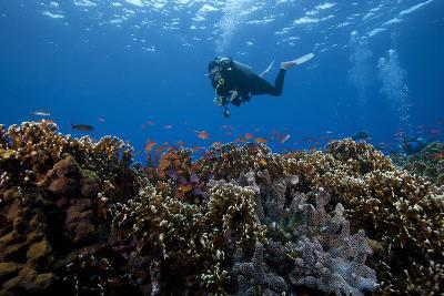Diver and Schooling Anthias Fish and Healthy Corals of Beqa Lagoon, Fiji-Stocktrek Images-Photographic Print