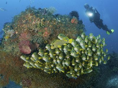Diver and Schooling Sweetlip Fish Next To Reef, Raja Ampat, Papua, Indonesia-Jones-Shimlock-Photographic Print
