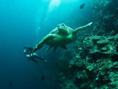 Diver and Turtle--Photographic Print