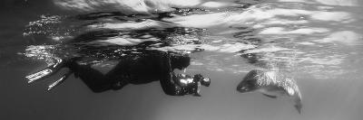 Diver Comes Face to Face with a Leopard Seal, Astrolabe Island, Antarctica--Photographic Print