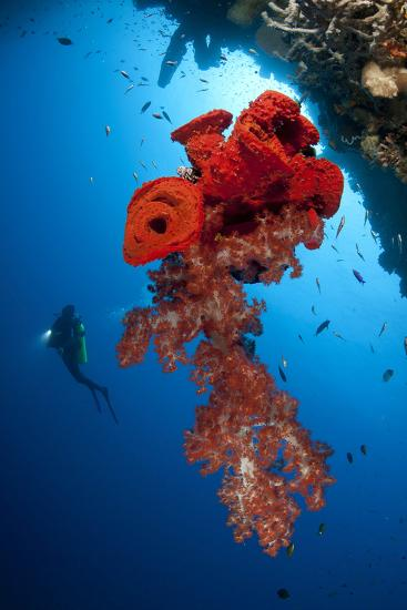 Diver Looks on at a Bright Red Soft Coral and Sponge Hanging from a Cave--Photographic Print