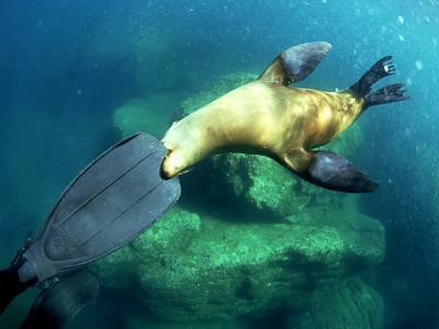 Diver Playing with Californian Sea Lion, Mexico-Tobias Bernhard-Photographic Print