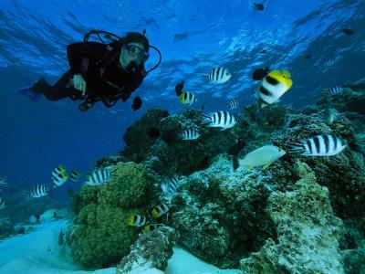 Diver Swimming with Butterfly Fish and Scissor-Tail Sergeants-Tim Laman-Photographic Print