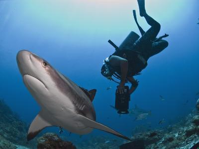 Diver Swimming with Caribbean Reef Shark (Carcharhinus Perezii), Roatan, Bay Islands, Honduras-Antonio Busiello-Photographic Print