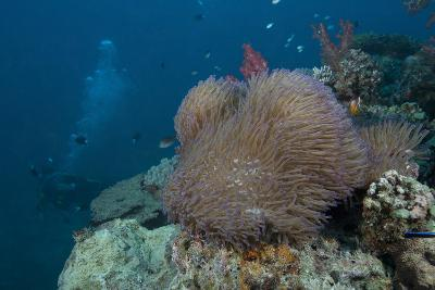 Diver Swims Past a Large Sea Anenome on a Fijian Reef-Stocktrek Images-Photographic Print