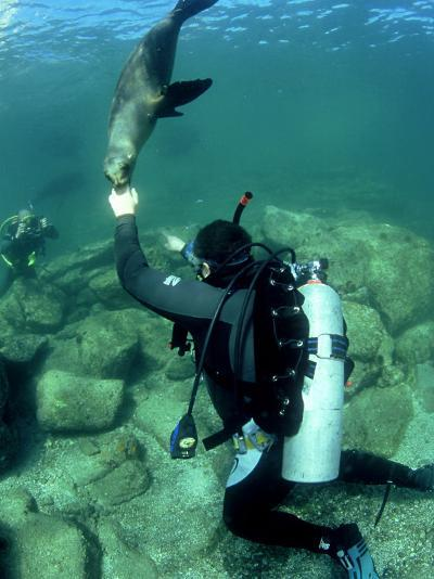 Diver with Californian Sea Lion, Mexico-Tobias Bernhard-Photographic Print