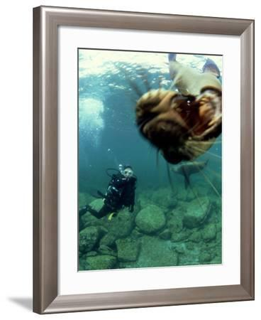 Diver with Californian Sea Lion, Mexico-Tobias Bernhard-Framed Photographic Print