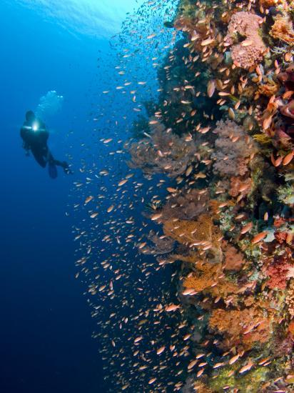 Diver With Light Next To Vertical Reef Formation, Pantar Island, Indonesia-Jones-Shimlock-Photographic Print