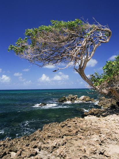 Divi Divi Tree, Cudarebe Point, Aruba, West Indies, Dutch Caribbean, Central America-Sergio Pitamitz-Photographic Print