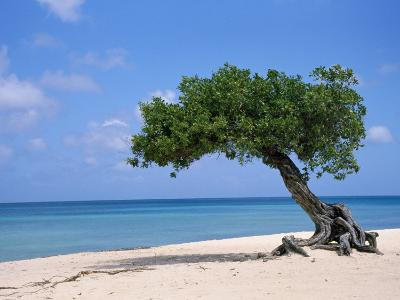 Divi Tree, Aruba-Jennifer Broadus-Photographic Print