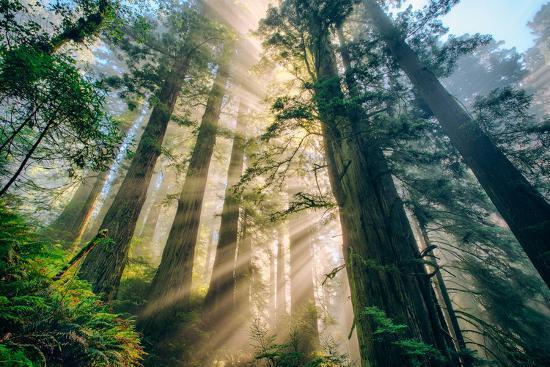 Divine Forest Light Coast Redwoods Del Norte California-Vincent James-Photographic Print