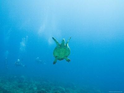 https://imgc.artprintimages.com/img/print/diving-las-tortugas-with-hawksbill-turtle-mexico_u-l-p2wwrl0.jpg?p=0
