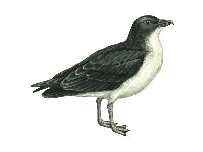 Diving Petrel (Pelecanoides Urinatrix), Birds-Encyclopaedia Britannica-Art Print