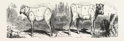 Division Sheep (Left) Division Calf (Right). 1855--Giclee Print