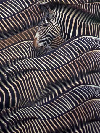 dli-agency-zebras-in-samburu-national-reserve-kenya
