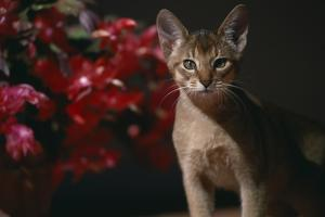 Abyssinian Ruddy Cat next to Plant by DLILLC