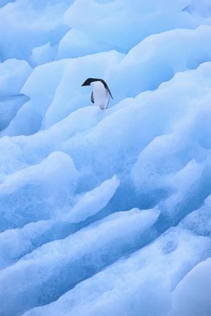Adelie Penguin on Blue Ice