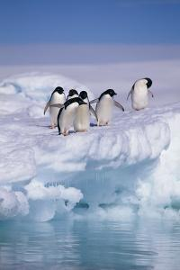 Adelie Penguins on Ice Floe next to Water by DLILLC