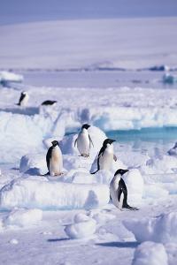 Adelie Penguins Sitting on Ice Floe by DLILLC