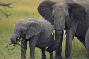 African Elephant and Calf Grazing by DLILLC