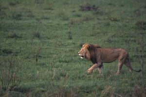 African Lion by DLILLC