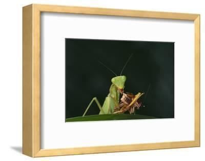 African Praying Mantis Eating a Bug