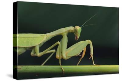 African Praying Mantis on Stalk
