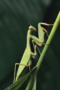 African Praying Mantis on Stalk by DLILLC