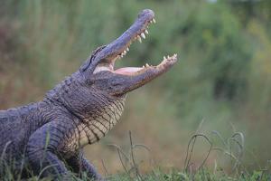 Alligator by DLILLC