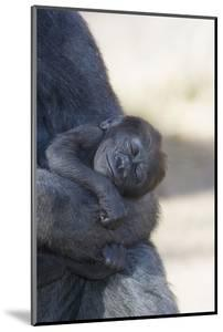 Baby Gorilla Sleeping in Mother's Arms by DLILLC