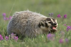 Badger in Meadow by DLILLC