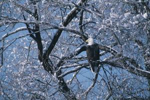 Bald Eagle Perching in Tree by DLILLC