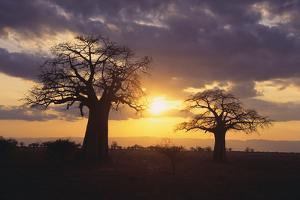 Baobab Trees in the Sunset by DLILLC