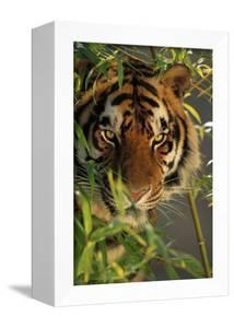 Bengal Tiger behind Bamboo by DLILLC