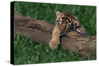 Bengal Tiger Cub Asleep on Fallen Tree