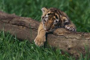 Bengal Tiger Cub Asleep on Fallen Tree by DLILLC