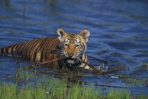 Bengal Tiger Cub in Water by DLILLC