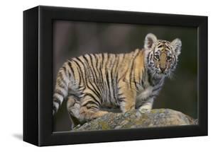 Bengal Tiger Cub on Rocks by DLILLC