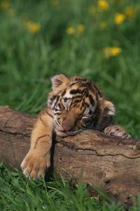 Bengal Tiger Cub Sleeping on Fallen Tree by DLILLC